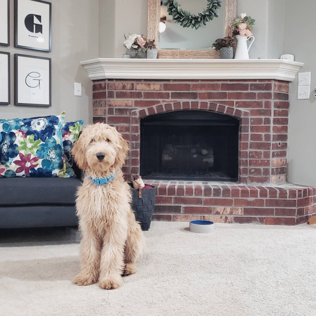 6 month old Goldendoodle in front of spring fireplace